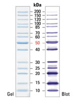 Fermentas PageRuler™ Unstained Protein Ladder (SM0661), marker with 14 bands (10, 15, 20, 25, 30, 40, 50, 60, 70, 85, 100, 120, 150, 200 kDa)